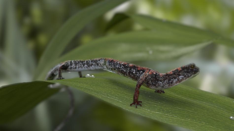 Salamander Final
